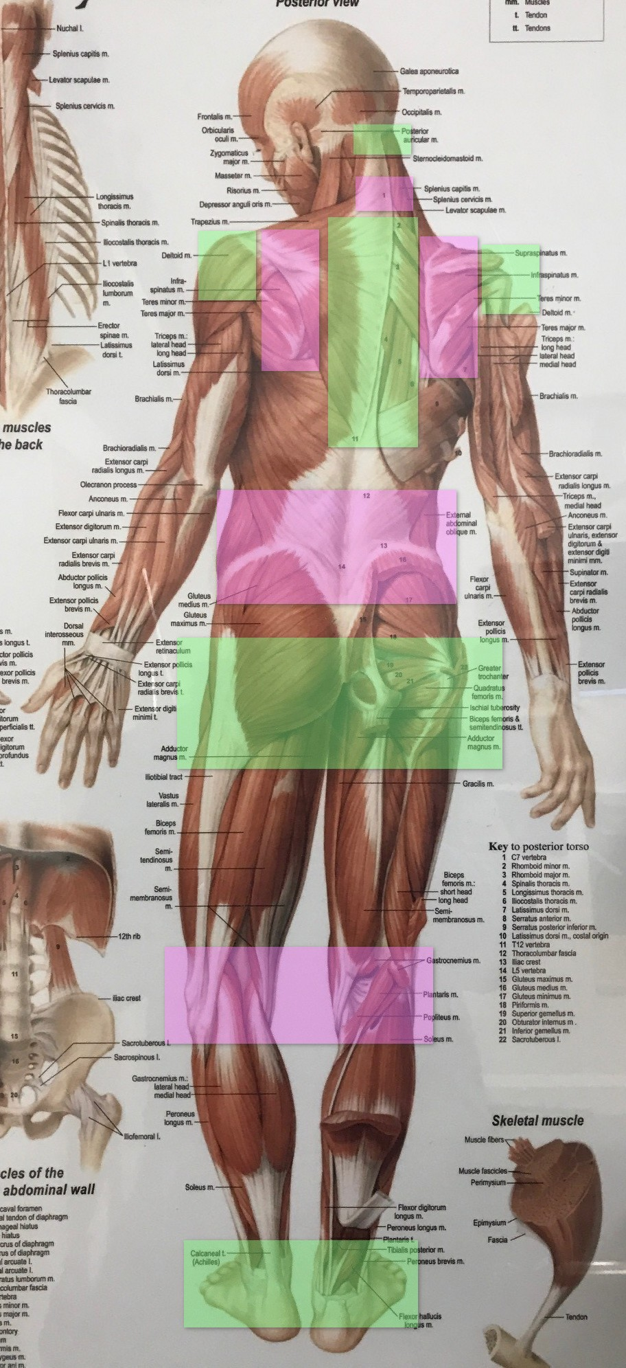 Human body showing regions of mobility and stability