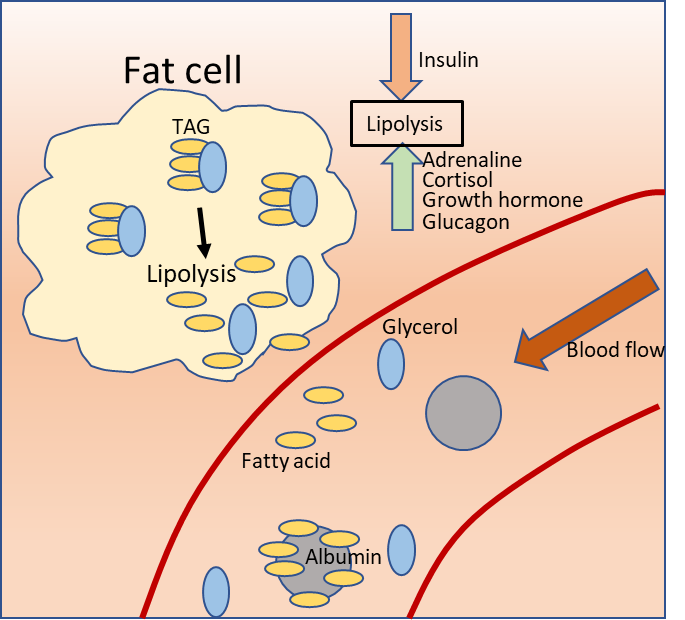 Schematic showing the separation of fatty acids from glycerol and their passage into the bloodstream