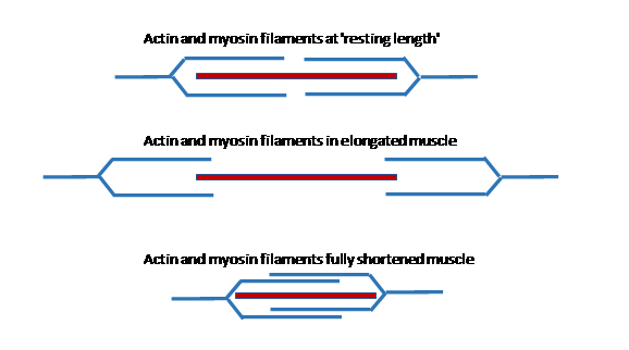 The amount of actin myosin binding varies as the length of the sarcomere changes. It is optimal at resting length