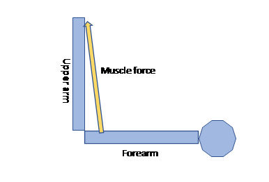 Biomechanics of a standard barbell curl with upper arm at 90 degrees