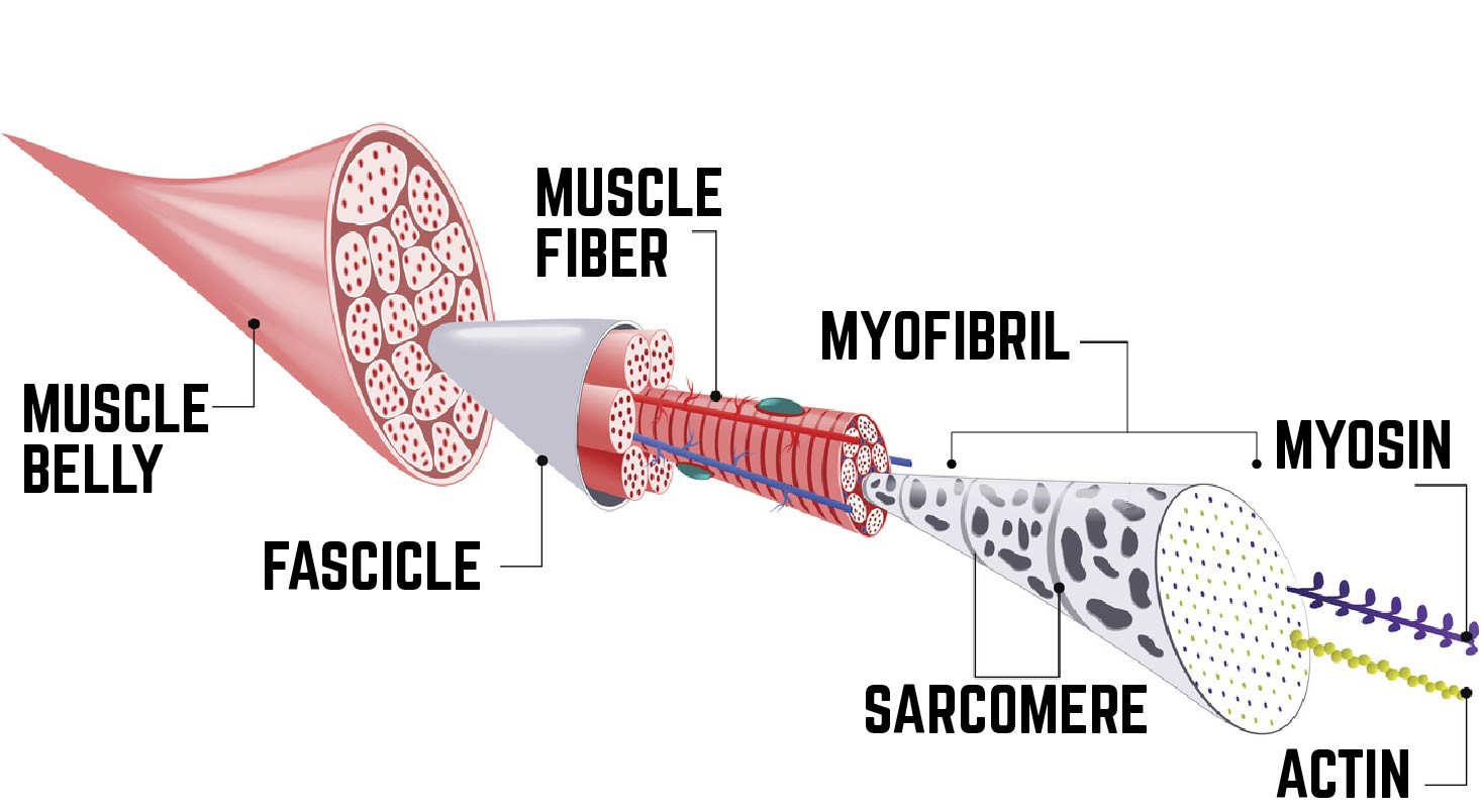 Diagram of the anatomy of a muscle